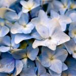 maui-blooms-100527-113056