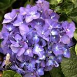 maui-blooms-100527-113458
